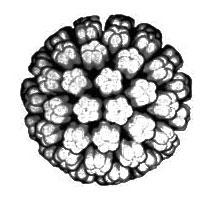 Schéma viriónu HPV