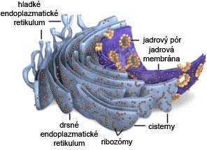 Štruktúra endoplazmatického retikula