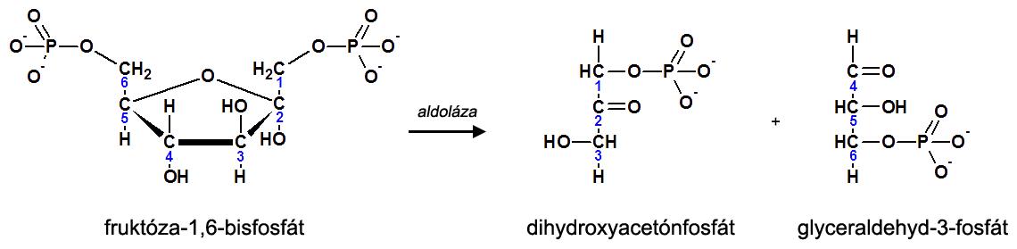 4. krok glykolýzy