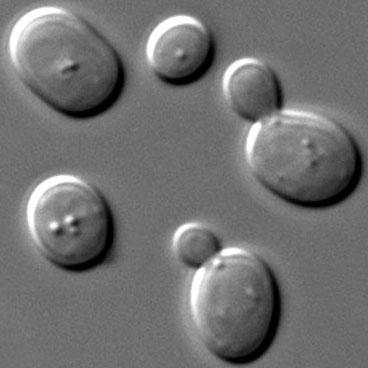 Kvasinka pivná (Saccharomyces cerevisiae)