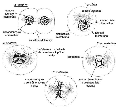 Priebeh mitózy