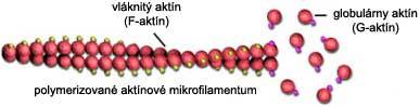 Štruktúra a skladanie aktínového mikrofilamenta