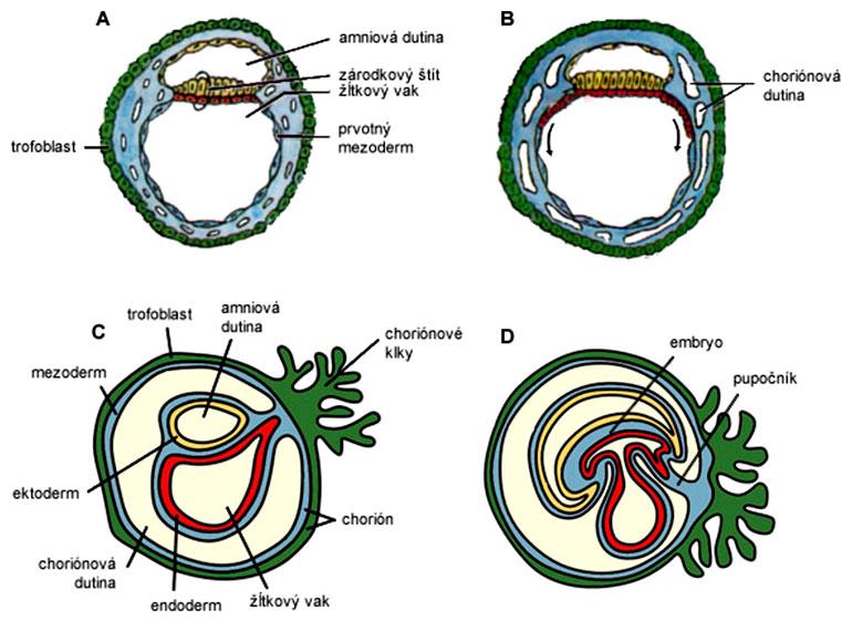 Šírenie mezodermu a vznik zárodočných obalov (9.-23. deň)