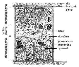 Schematická stavba bunky sinice