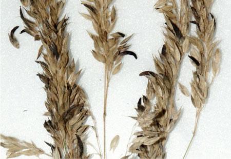 Klasy divého ovsa napadnuté kyjaničkou purpurovou (Claviceps purpurea)