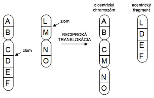Schéma vzniku dicentrického chromozómu a acentrického fragmentu cez reciprokú translokáciu