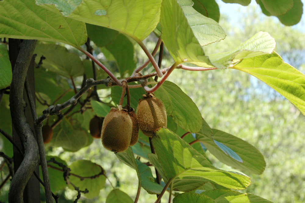 Aktinídia lahodná (Actinidia deliciosa)