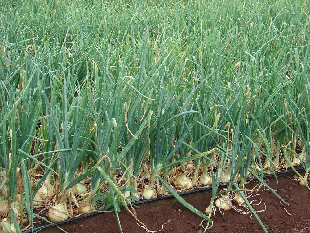 Cesnak cibuľový (Allium cepa)