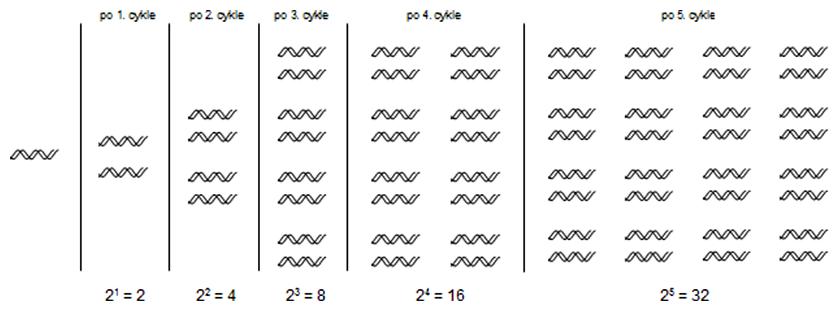 Exponenciálne amplifikujúca sa DNA