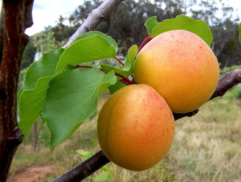 Marhuľa obyčajná (Prunus armeniaca)