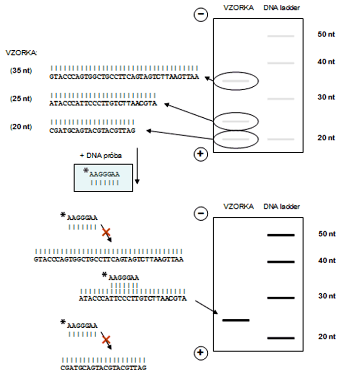 Princíp vizualizácie DNA pomocou rádioaktívne značených prób