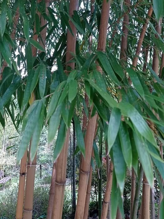 Bambus obyčajný