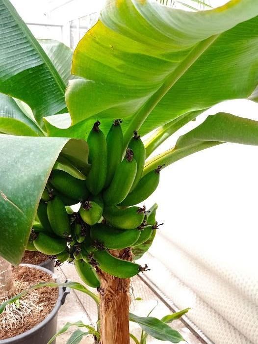 Banánovník končistolistý