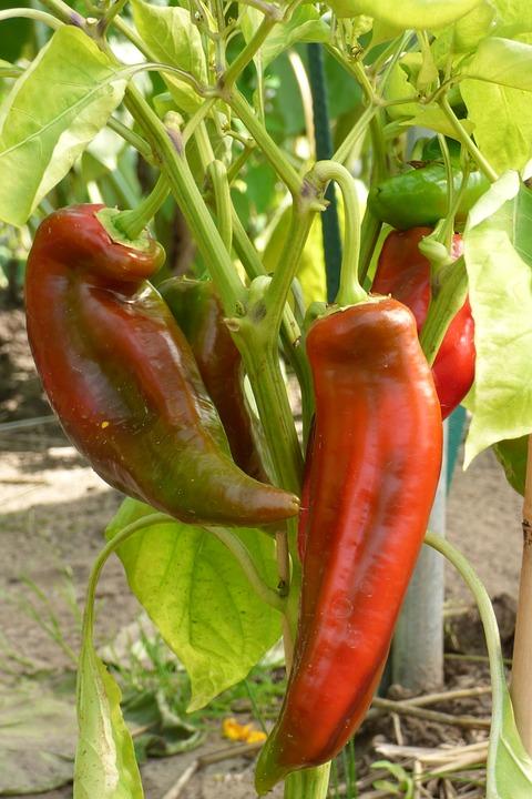 Bobuľa (paprika)