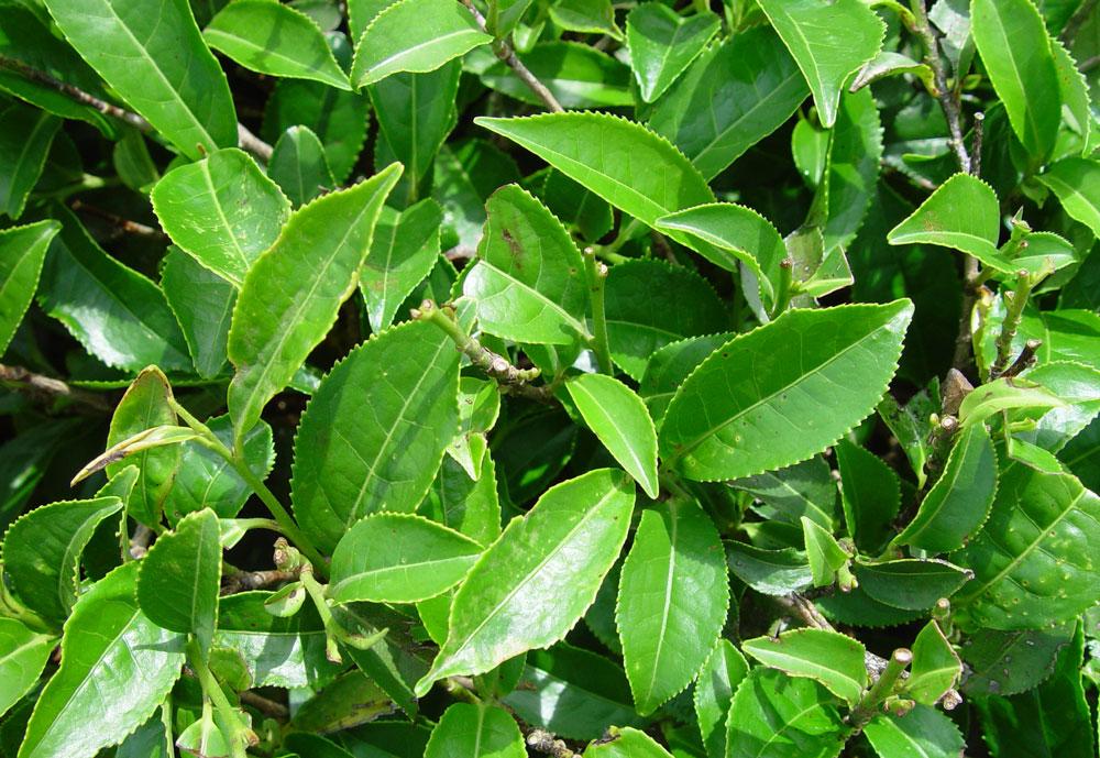 Čajovník čínsky (Camellia sinensis)