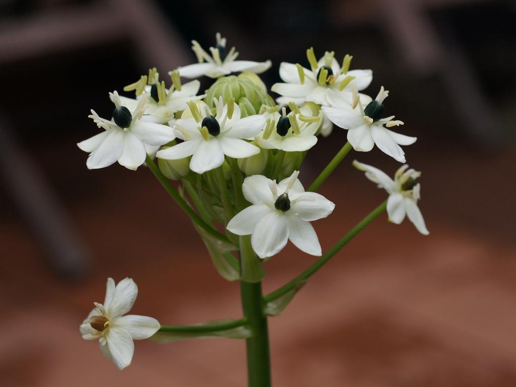 Chocholík (Ornithogalum arabicum)