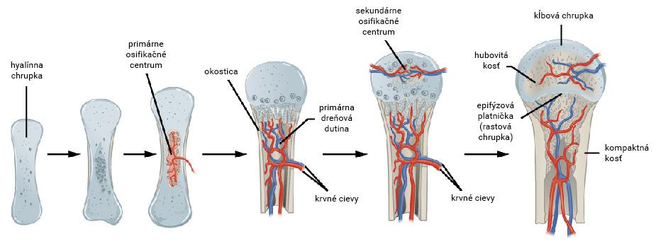 Priebeh chondrogénnej osifikácie dlhej kosti