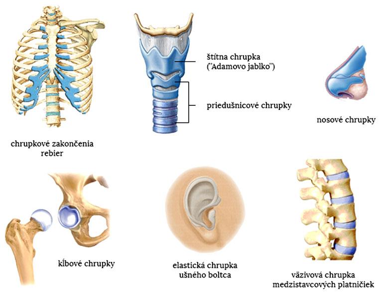 Príklad výskytu chrupiek v ľudskom tele