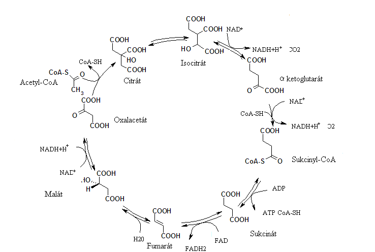 Schéma Krebsovho cyklu