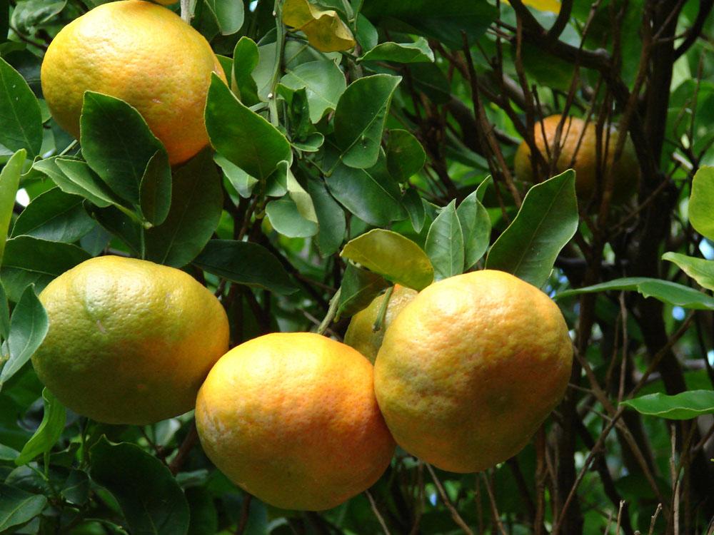 Citrónovník mandarínkový