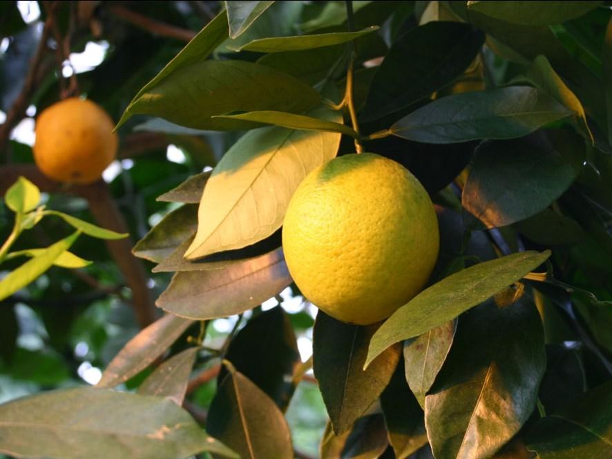 Citrónovník pomarančový