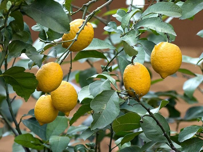 Bobuľa (citrónovník)