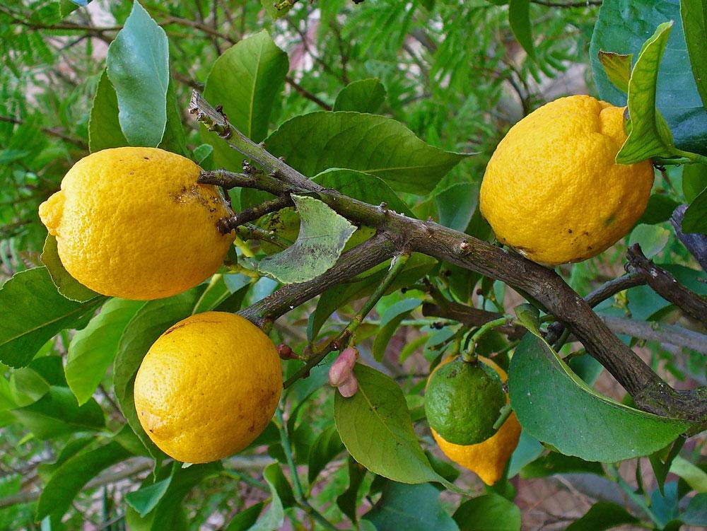 Citrónovník pravý (Citrus limon)