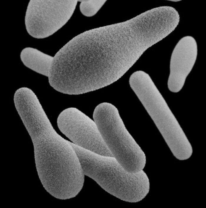 Clostridium sp. (model)