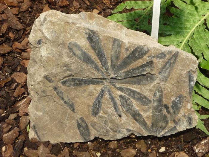 Odtlačok listu fosílnej dreviny rodu Cordaites