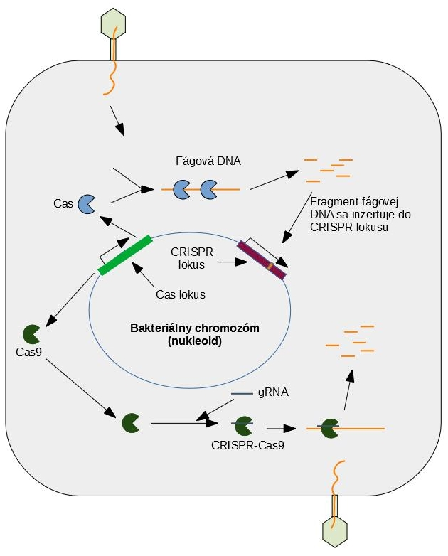 Schéma pôsobenia CRISPR-Cas systému
