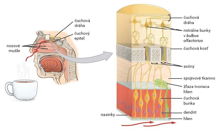 Čuchový receptor