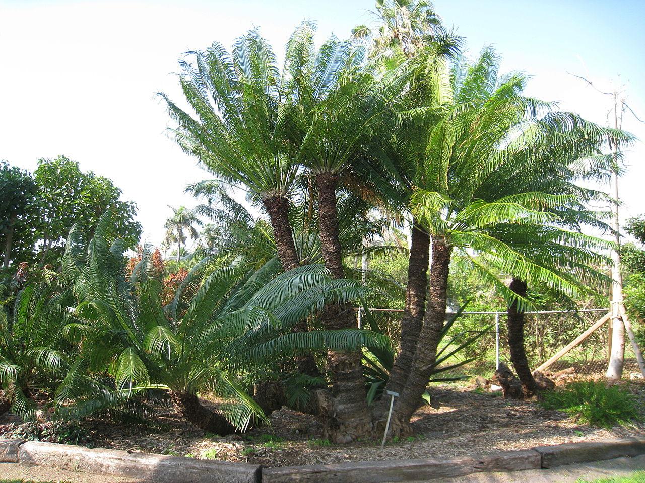 Cykas indický (Cycas circinalis) - zástupca cykasorastov