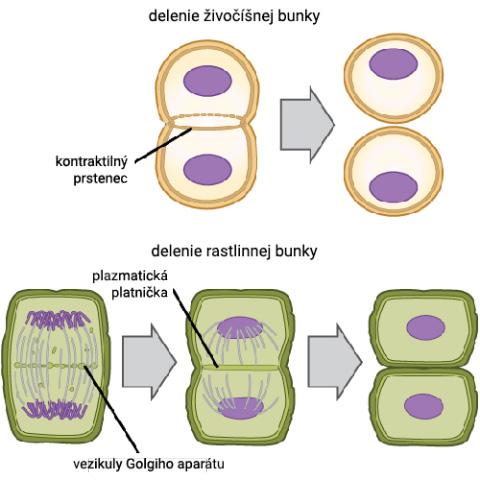 Delenie živočíšnej a rastlinnej bunky