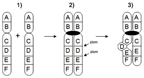 Schéma vzniku delečnej slučky v profáze meiózy