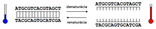 Priebeh denaturácie a renaturácie dvojvláknovej DNA