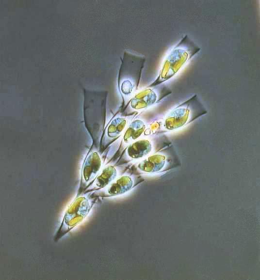 Dinobryon