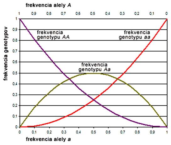 Vzťah medzi alelickými a genotypovými frekvenciami za predpokladu H-W rovnováhy