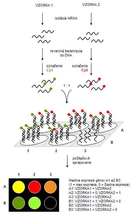 Princíp DNA čipov