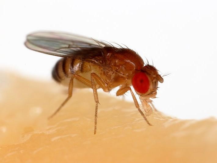 Drozofila obyčajná (Drosophila melanogaster)