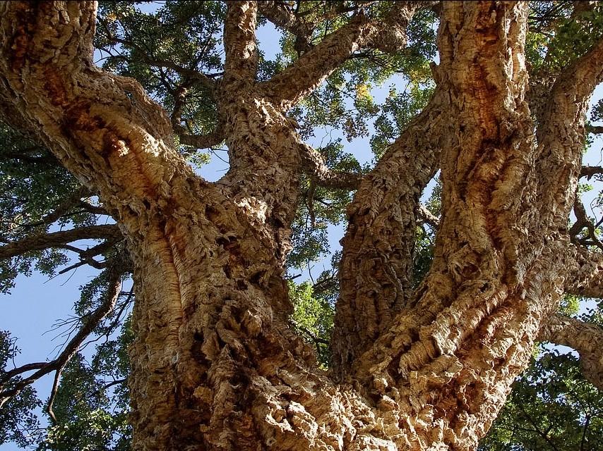 Dub korkový