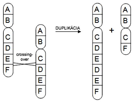 Schéma vzniku duplikácie (a delécie) cez nepravidelný crossing-over