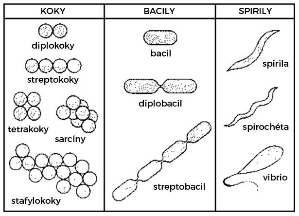 Tvar bakteriálnych buniek