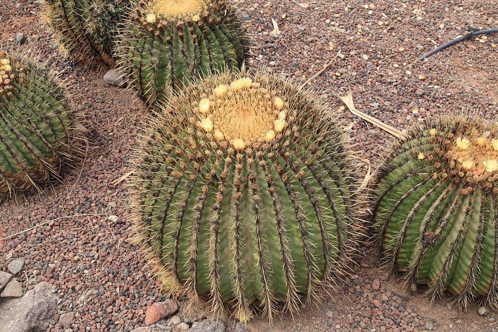 Echinocactus playacanthus