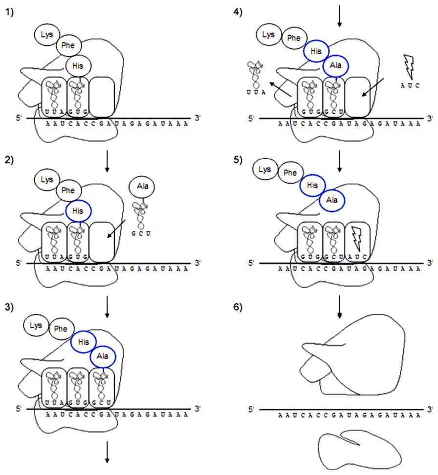Schéma elongácie a terminácie translácie