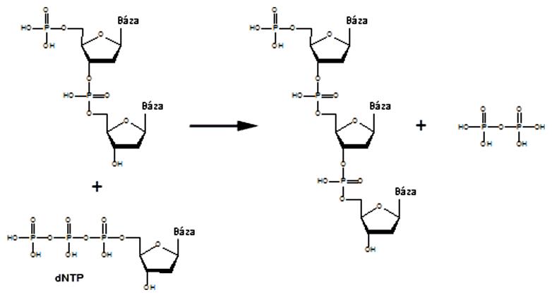 Schéma elongácie replikácie DNA