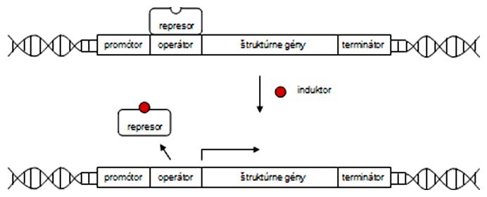Schéma enzýmovej indukcie