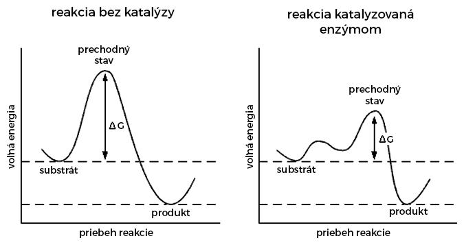 Priebeh chemickej reakcie bez katalýzy a tá istá reakcia katalyzovaná enzýmom