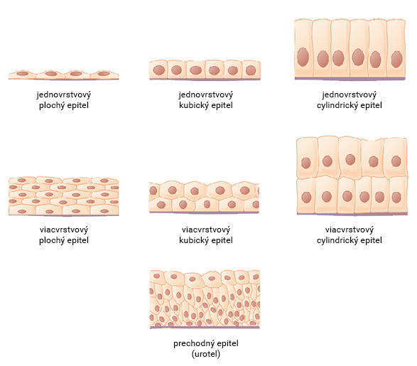 Typy epitelu podľa tvaru buniek