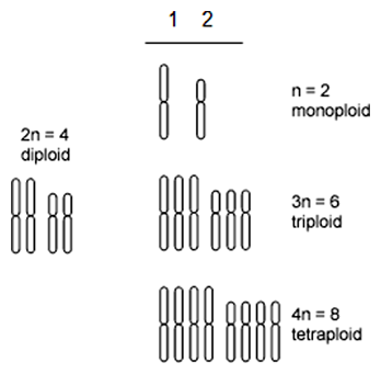Príklady polyploidie (euploidie)