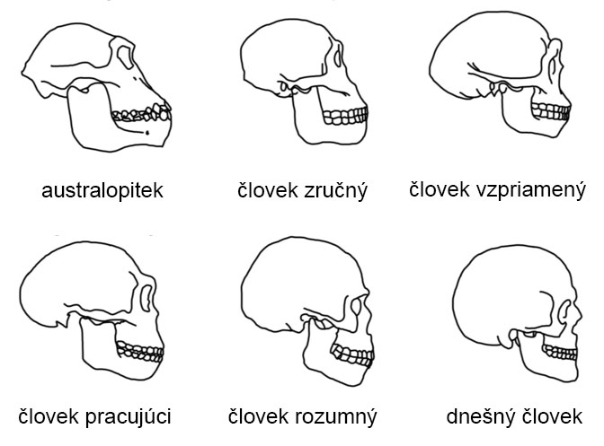 Porovnávacia anatómia lebky